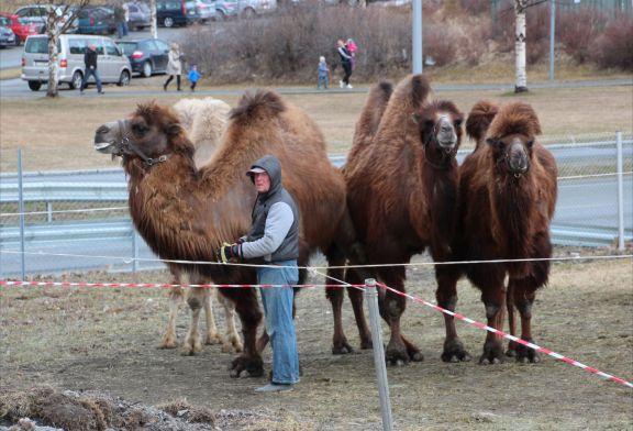 Kamelene med vokter hos Cirkus Merano i Stjørdal (Foto: Per-Christian Næss Eriksen)