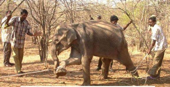 En villfanget elefant når den brytes ned fysisk og psykisk for å temmes.